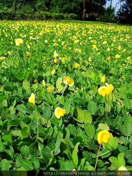 遍地小黃花