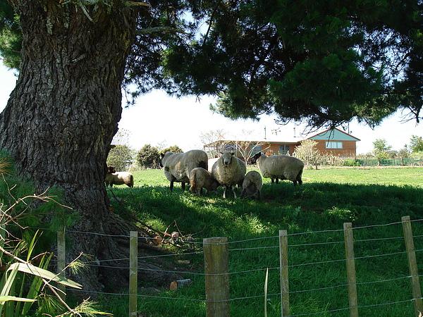 隔壁的黑臉羊群