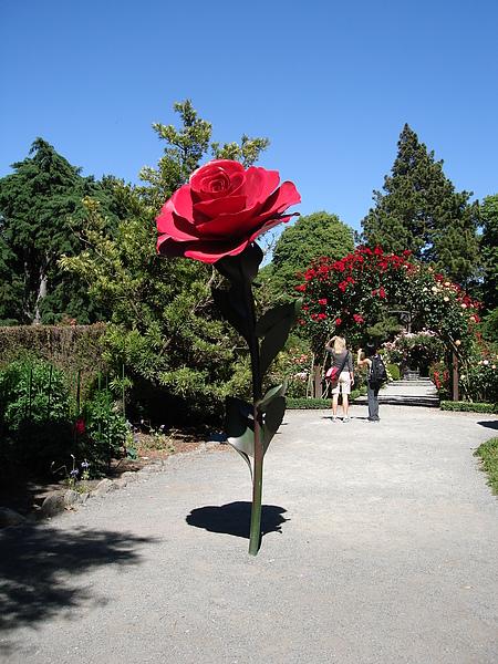 花園前大玫瑰