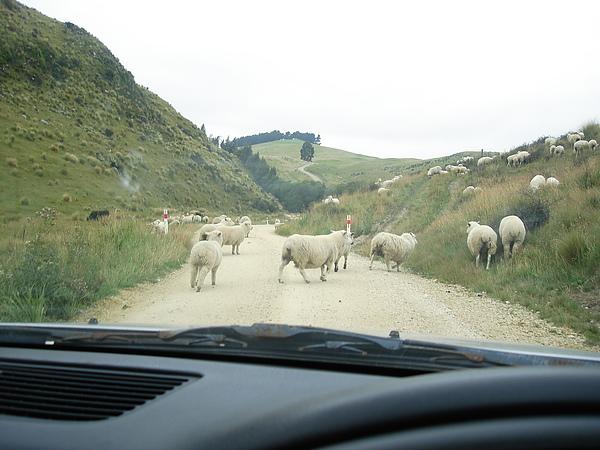 羊咩咩在路上亂竄
