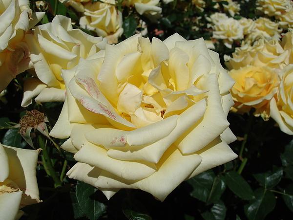 超美奶油黃玫瑰
