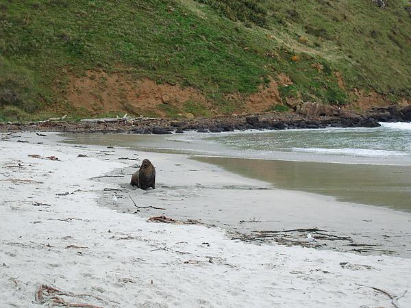 曬太陽ing的海獅