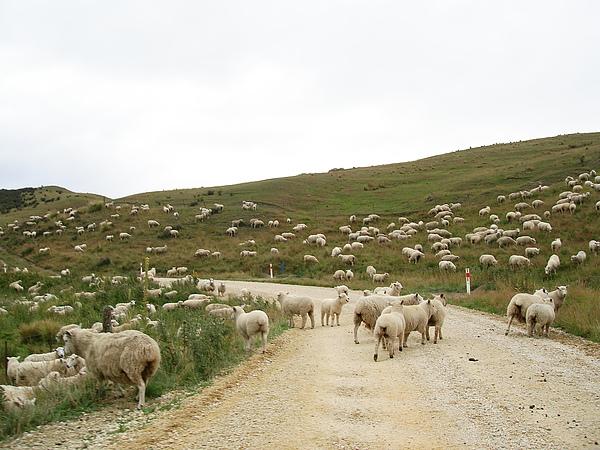 過了Danseys Pass看到很多綿羊