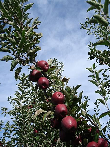 這應該是Braeburn蘋果