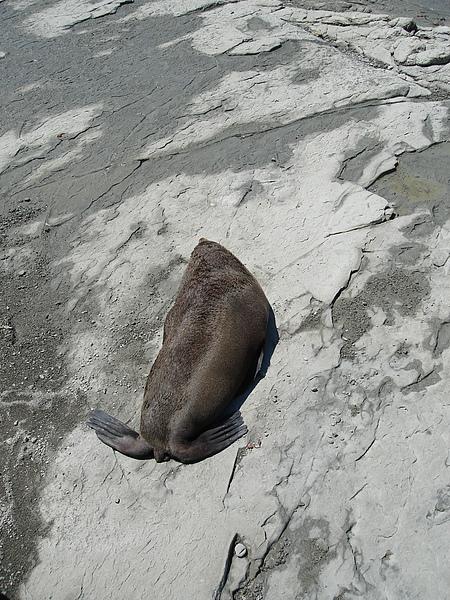 怡然自得的fur seal