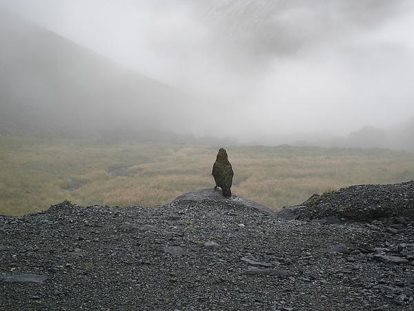 Kea,是稀有的一種野生鸚鵡