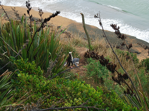 山坡上就有黃眼企鵝