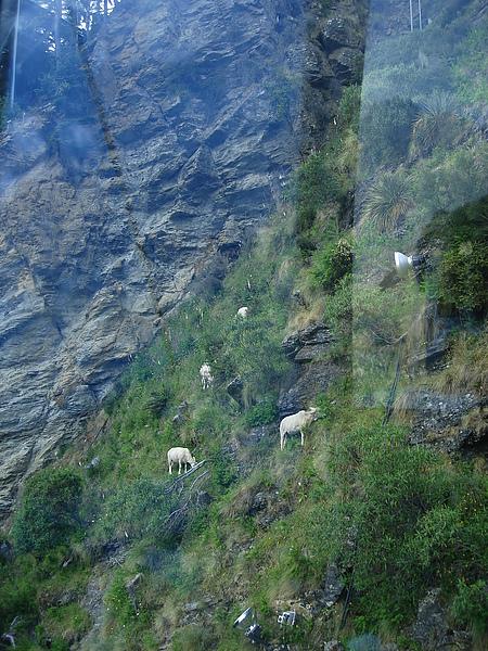 辛苦在半山腰吃草的羊咩咩