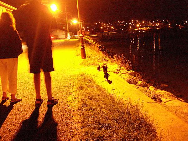 準備過馬路回家去的藍企鵝