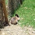 羊群裡突然跳出來一隻兔子~.JPG