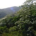 今天天氣很好  小鼎帶我去看油桐花.JPG