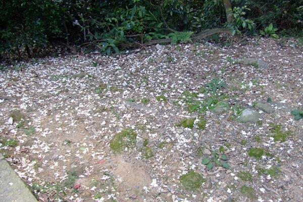 灑滿遍地的油桐花.JPG