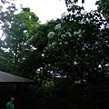 入口處的油桐樹.jpg