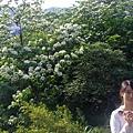 沿路的油桐花.JPG