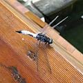 靠我很近的蜻蜓~也是許久不見的動物之一