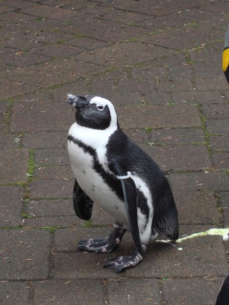 偷便便的企鵝
