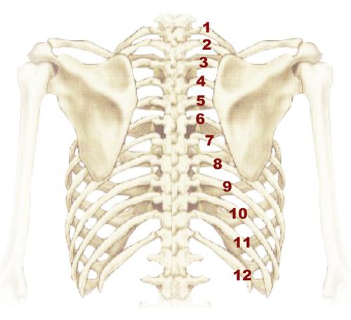01.胸肋骨.jpg