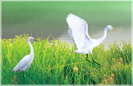 白鷺鷥 秋天養生 菱角 官田菱角節