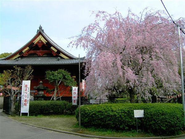 清水觀音堂,此刻是粉色櫻花盛開期