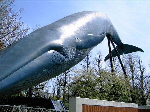 國立科學博物館的招牌鯨魚