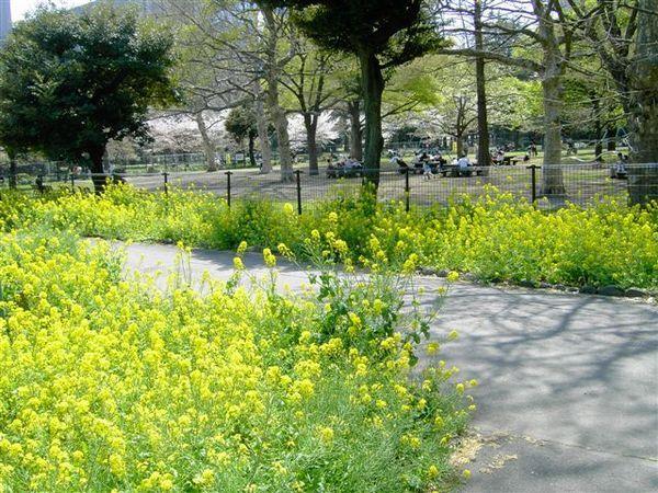 散步到日比谷公園,油菜花開的正美