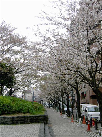 隅田川上的櫻花