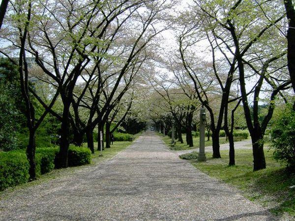 辰巳の森緑道公園 並木道--事實上是櫻花大道