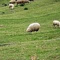 停車場旁的小羊