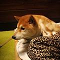 民宿的柴犬