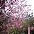 苗栗到處都有櫻花樹耶