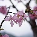 櫻花又來了!