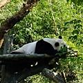 沒排到隊就幸運看到的熊貓