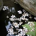 樹上的花掉了一堆到池子裡