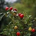 像番茄一樣的可愛辣椒