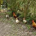 民宿裡有雞
