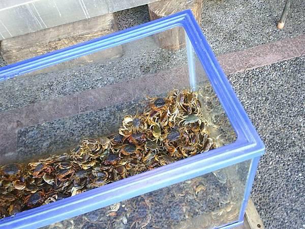 活生生的溪蟹...看起來很像蠍子