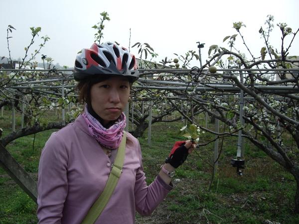 高接梨開花了