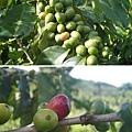 加典農場咖啡豆.jpg