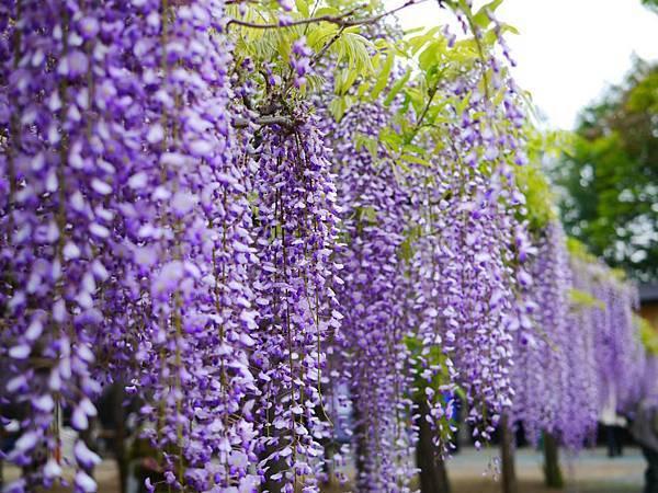 d213牛島藤花園.jpg