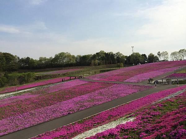 d221芝櫻公園.jpg