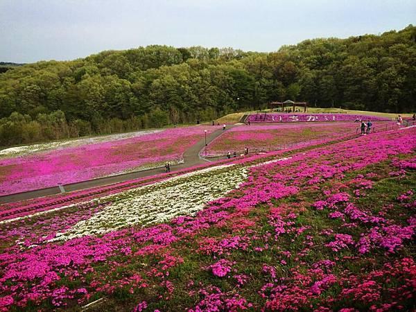d229芝櫻公園.jpg