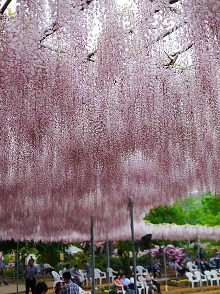d331足利 Flower Park.jpg