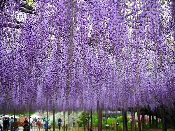 d337足利 Flower Park.jpg
