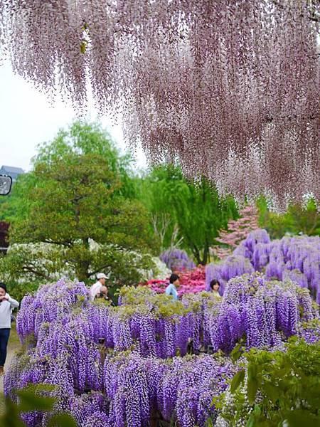d339足利 Flower Park.jpg