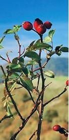 rosehip kosmea