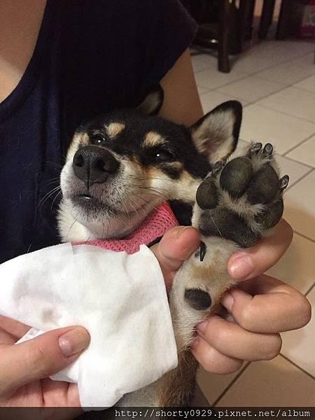 T-PET迪貝多寵物清潔萬用棉 5.jpg