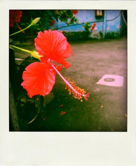 hibiscus.jpg