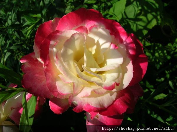 玫瑰rose1.jpg