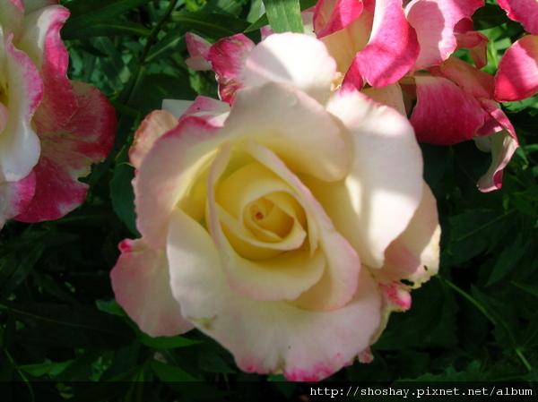 玫瑰rose2.jpg