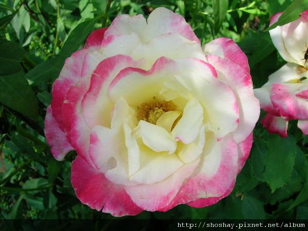玫瑰rose3.jpg